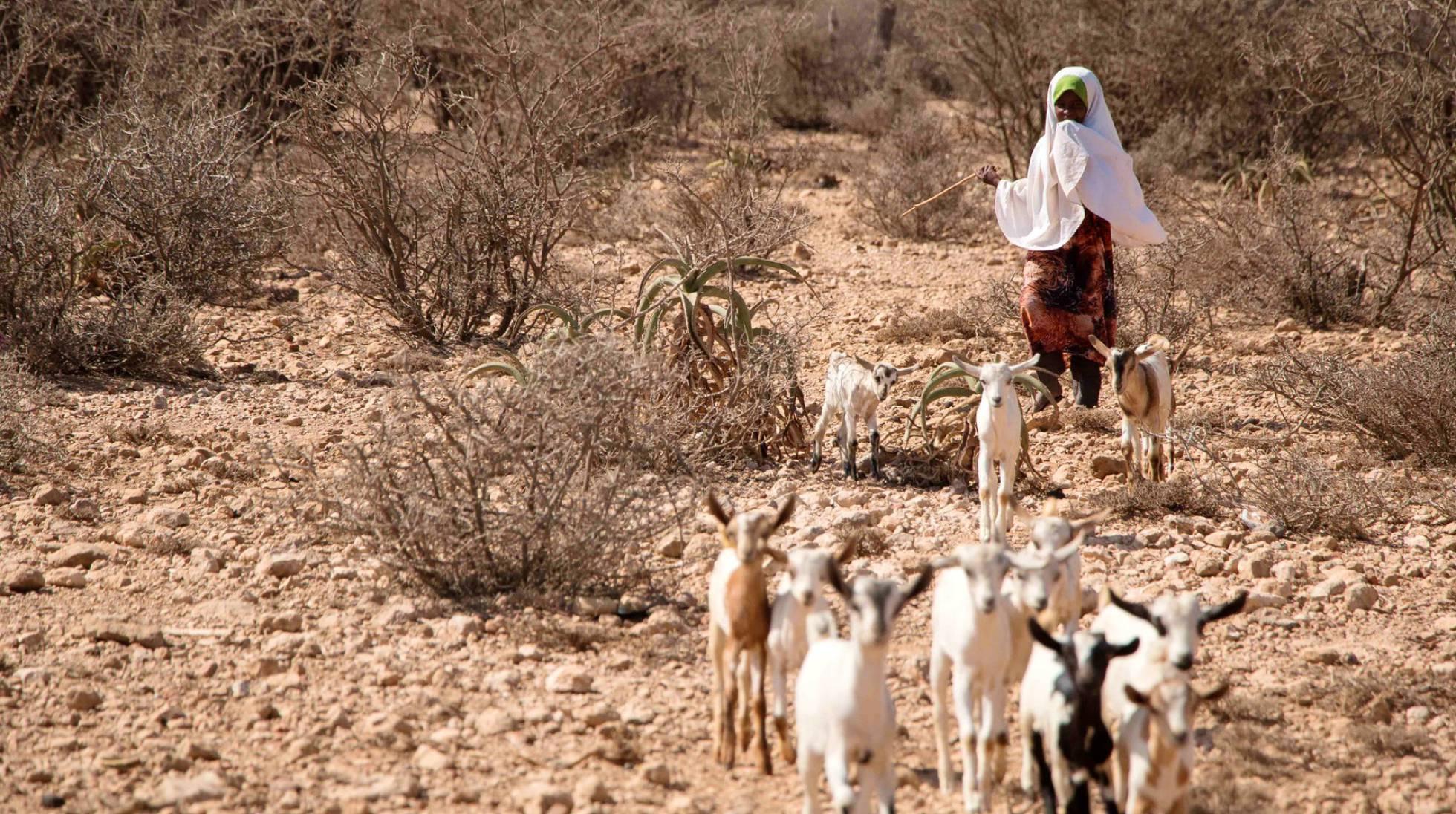 Hodo, De Ocho Años, Cuida De Las Cabras De Su Familia Que Aún Sobreviven En Somalilandia